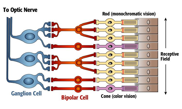 Option E  Neurobiology And Behavior